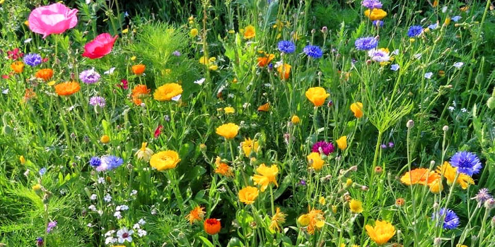 A photo of wildflowers growing in Middlesbrough linking to the page about urban meadows in Middlesbrough