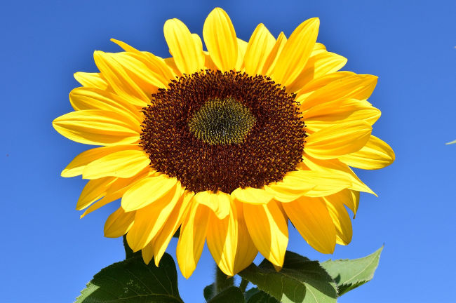A photo of a sunflower against a blue sky linking to a page about getting rid of garden waste